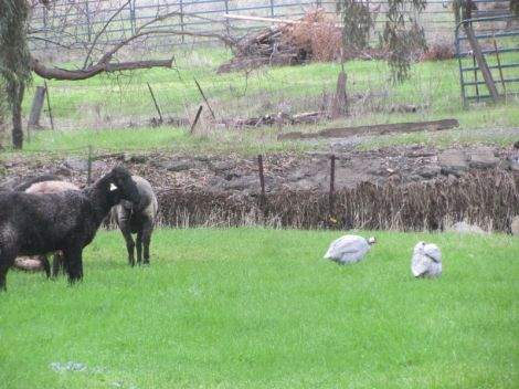 guineas with sheep