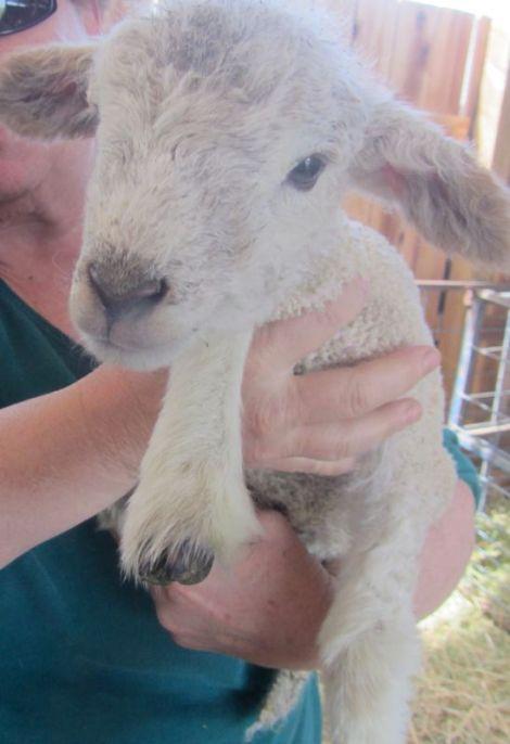 lamb chop look
