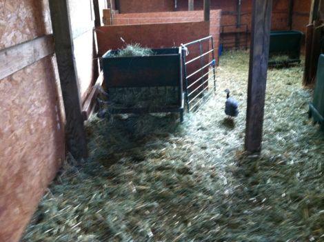 visiting guinea
