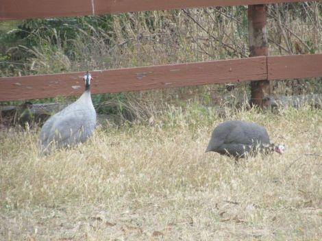 2 guineas