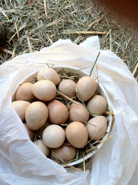 ginea eggs