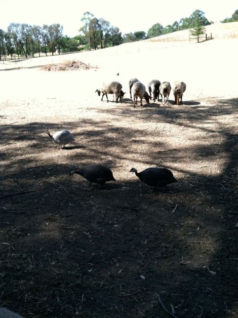 guineas out with sheep