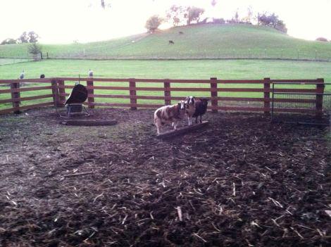 sheep on balancing beam