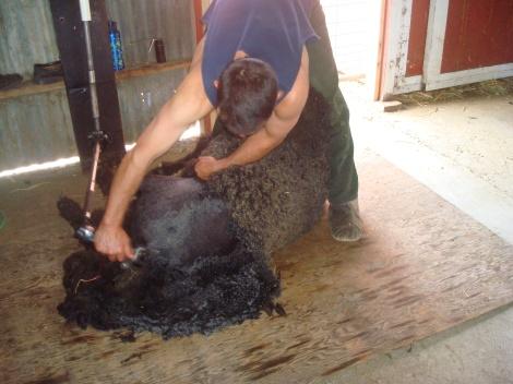 marley getting sheared