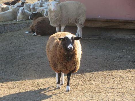 sheep coming towards us