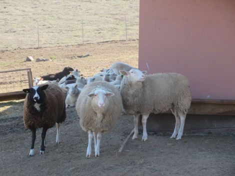 sheep group