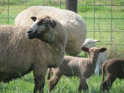 cvm ewe and lam close up