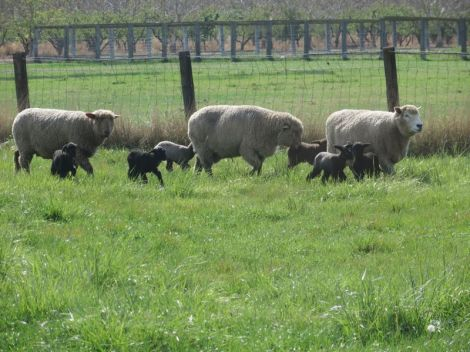 cvm ewes and lambs