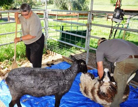 rocki at shearing day