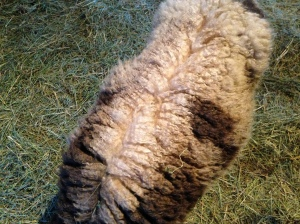 Diamond's fleece. Look how beautiful it is!