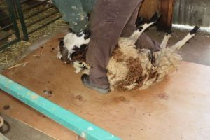 being sheared