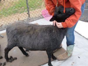 cassie sheared