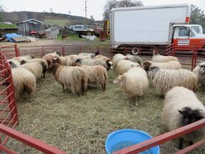 waiting for shearing