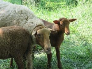 c f ewe and lamb