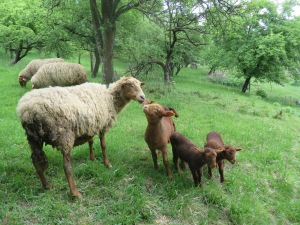 c f with lambs