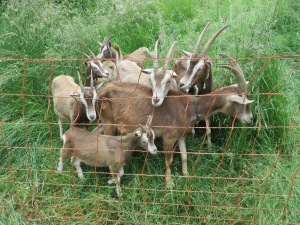 goats behind fence