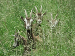goats in grass 2