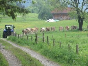 herding cows toward barn