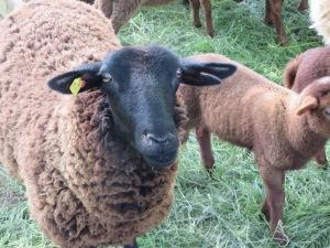 mtn sheep