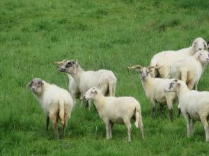 Valachian Sheep