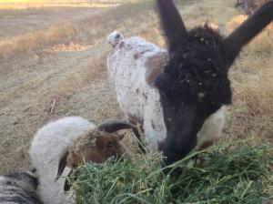 alfalfa for pari