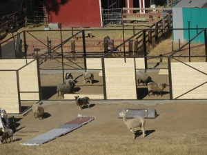 sheep inspect day 4