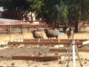 sheep inspect
