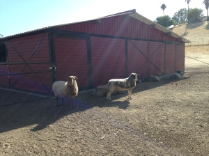 sheep by barn