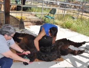 e getting sheared