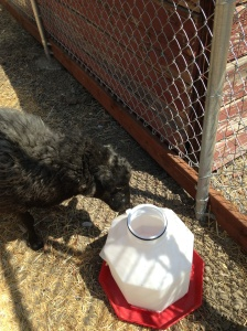 Eve inspects new waterer for outdoor run but they won't be out here for awhile.