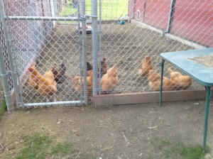 The chickens who were babies in the last post. Not quite free-ranging yet.