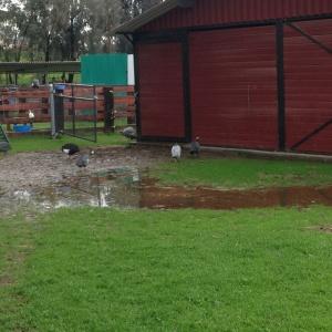 guineas-in-mud